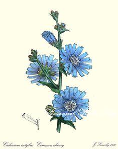 "Botanical Print. Blue Flower Print. Chicory. Flower Wall Art.  8x10"" 11x14"""