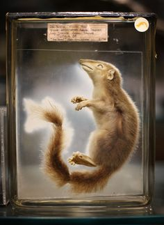 A Tree Shrew is displayed at The Grant Museum of Zoology on September 4, 2012 in London, England. Containing 67,000 specimens, the Grant Museum of Zoology is the only one of it's kind in London. Started as a teaching collection in 1828 the collection displays only about 5% of all the specimens it holds.