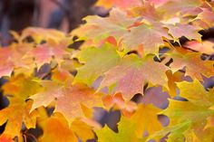 Ever wondered why leaves change colour and fall in the autumn? Here's the answer:  http://bit.ly/2dGftCs