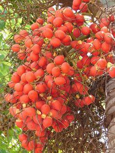 85 Fresh Foxtail Palm Tree Seeds from Hawaii Live Viable Seed Wodyetia Bifurcata   eBay