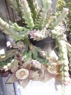 suculenta en floración