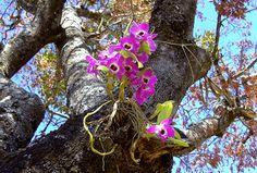 Orquídea em tronco de árvore – Como cultivar?