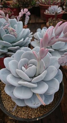 Echeveria Laui Succulent Care, Succulent Gardening, Cacti And Succulents, Planting Succulents, Cactus Plants, Echeveria, Plant Aesthetic, Growing Gardens, Home Flowers