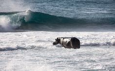"""A hippo has been causing much commotion in the small beach town of Ponta Do Oura in Mozambique, as the one and a half ton animal has been seen swimming in the waves. This very unusual sighting of, the now named by the locals """"Mr Hippo"""", was photographed by 44-year-old marine mammal guide, Angie Gullan who says that she's never seen anything like this before. The hippo spent three days in and out of the surf before moving on his way."""