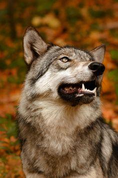 "beautiful-wildlife: "" Smile by Jamie Cournoyer Lakota Wolf Preserve, Columbia, NJ """