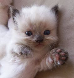 munchkin kittens breeders | Cute Cats Pictures