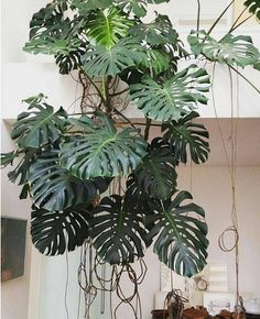 Houseplants for Better Sleep Monstera becoming down Grow care for Philodendron Monstera: Indore Plants, Philodendron Monstera, Monstera Deliciosa, Plants Are Friends, Love Garden, Cacti And Succulents, Tropical Plants, Plant Decor, Houseplants