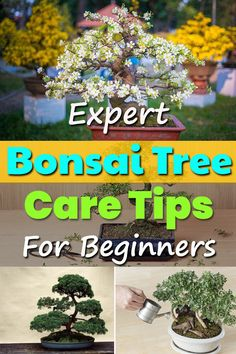 If you're a beginner these Bonsai Tree Care Tips will educate you about the most basic aspects like choosing the right soil fertilizer pot watering etc. Buy Bonsai Tree, Bonsai Tree Care, Bonsai Tree Types, Indoor Bonsai Tree, Indoor Trees, Potted Trees, Bonsai Trees, Bonsai Plants, Flowers Garden