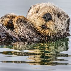 Photograph by @paulnicklen for @natgeo. They dont come much cuter than this Sea Otter in Homer #Alaska.  Please stay tuned for some news about the effects that a mass of warm ocean water is having on this species and #follow me on @paulnicklen to learn more. With @sea_legacy and cristinamittermeier.  #otter #nature #wildlife #MPA by natgeo