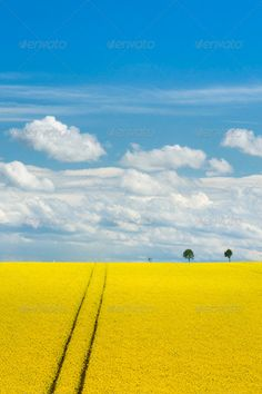 Canola Field and Romantic Sky ...  Horizon Over Land, Oilseed Rape, agriculture, blossom, blue, bright, canola, canola field, clean, clear sky, cloud, colza, copy space, crop, cultivated, environment, europe, farm, field, german, germany, gold, green, horizon, land, landscape, landscaped, lush foliage, meadow, nature, non-urban scene, outdoors, plant, rape, rural scene, scenics, sky, sparse, spring, sunlight, tree, vertical, vibrant color, weather, yellow