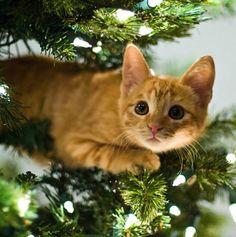 Cat in a christmas tree - Katzen - Gatos Pretty Cats, Beautiful Cats, Animals Beautiful, I Love Cats, Crazy Cats, Cool Cats, Funny Cats, Funny Animals, Cute Animals