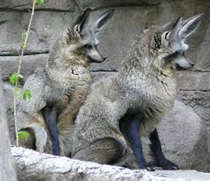 Bat-eared Fox - a canid of the African savanna named for its large ears. Fossil records show this canid to first appear during the middle Pleistocene, about 800,000 years ago.