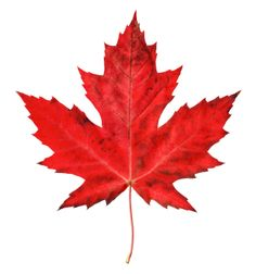 red maple leaf - Google Search