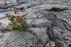 The incredibly resilient Ohia lehua tree grows out of seemingly solid lava flows. It is polymorphic, meaning it has no common shape but can be fully grown at 1 foot or 20 feet! Volcano National Park, National Parks, Hawaiian Legends, National Geographic Photography, Hawaii Volcano, Lava Flow, Growing Tree, Flowers Nature, Big Island