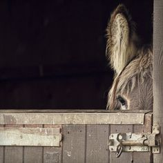 Delectable Decadence : Photo of donkey in a stall. Cute Donkey, Mini Donkey, Donkey Donkey, Beautiful Creatures, Animals Beautiful, Farm Animals, Cute Animals, Tier Fotos, Zebras