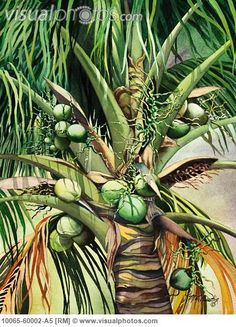 paintings of palmtrees | ... , Hawaii, Palm tree laden with many coconuts (Watercolor painting