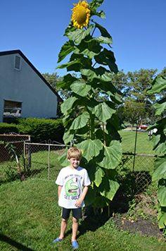 How To Grow Huge Sunflowers Sunflower Seeds- Russian Mammoth- Heirloom- Helianthus- Organically Mammoth Sunflower, Giant Sunflower, Sunflower Garden, Growing Sunflowers From Seed, Planting Sunflowers, How To Plant Sunflowers, Planting Sunflower Seeds, Red Sunflowers, Organic Gardening