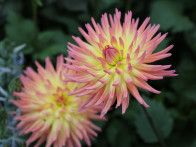 This delightful dahlia cultivar was featured at the Olympics of plants and flowers, London's 2013 Chelsea Flower Show.