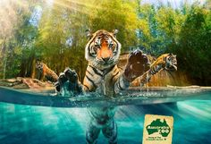 Sunshine Coast, Australia: Australia Zoo has the only glass underwater viewing enclosure for Tigers in Australia