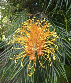 Pieces Of Contentment A New Grevillea