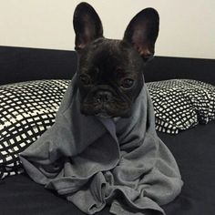 """My mom says I have the Flu"", Kobi, the French Bulldog Puppy @kobi_the_frenchie"