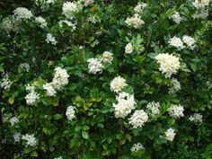 The flowers of the orange jasmine do smell like orange blossoms. - Image by Starr Environmental under a Flickr Creative Commons Attribution License