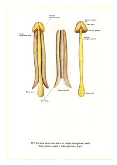 in penis Bone