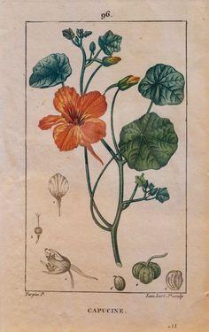Kuvassa kasvi Intian Krassi.  Alkuperäinen gravyyri vuodelta 1816. Käsinväritetty.  Kuvat ovat kirjasta: Flore medicale, Pierre Turpin (1816)