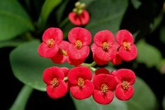 Euphorbia milii (Crown-of-thorns or Christ Plant) is a woody, succulent species of Euphorbia native to Madagascar. Euphorbia Milii, Planting Flowers From Seeds, Planting Succulents, Cactus Planta, Cactus Y Suculentas, Rare Flowers, Exotic Flowers, Euphorbia Flower, Succulent Species