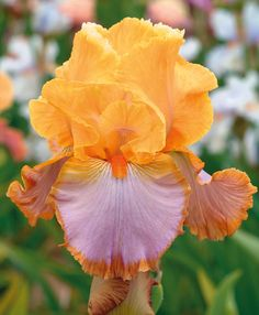 """Grand Canyon Sunset Type: Tall Bearded (TB) Style: Bicolor Height: 35"""" Color: Apricot-Violet Originator: Schreiner Year: 2011 Bloom Season: Midseason Fragrant: No Rebloom: No Awards:"""