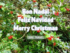 This holly bush from #Ports #TortosaBeseit with the best wishes of http://www.ebre.travel/  Aquest grèvol dels #Ports #TortosaBeseit, amb els millors desitjos de http://www. ebre.travel/  Este acebo de #Ports #TortosaBeseit, con los mejores deseos de http://www.ebre.travel/