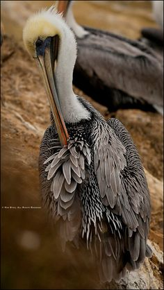 A Pelican preens near La Jolla, California.  © Rob Byko Photography  visit: www.RobByko.com