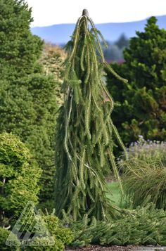 Kigi Nursery - Picea abies ' Cobra ' Weeping Creeping Norway Spruce, $25.00 (http://www.kiginursery.com/spruces/copy-of-picea-abies-pendula-weeping-norway-spruce-1/)