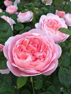 "English Roses Rose "" Queen of Sweden "" , (AUStiger) , David C. Queen Of Sweden Rose, Rose Queen, All Flowers, Pretty Flowers, Wedding Flowers, Send Flowers, Exotic Flowers, Purple Flowers, Beautiful Roses"