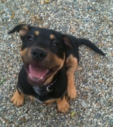 Huntington Beach, CA Rottweiler/Australian Cattle Dog