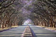 Jacarandas in Harare Zimbabwe Zimbabwe History, Zimbabwe Africa, Picture Tree, Group Tours, Love Pictures, Adventure Is Out There, Pathways, Tourism, Beautiful Places