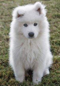 Samoyed. I usually am not a fan of all-white dogs, but these guys are beautiful.