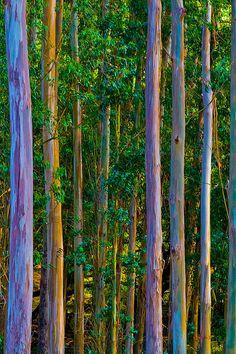 Eucalyptus Trees . Photography By Mitch Shindelbower .