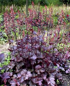 Heuchera aka Coralbell There are many other colors available also.