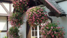 die besten 25 geranien pflanzen ideen auf pinterest geranien balkon pflanzen und balkon. Black Bedroom Furniture Sets. Home Design Ideas