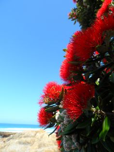 In December see the flowering Christmas trees the pohutukawa in Coromandel, Taranaki and Raglan. Christmas Pictures, Christmas Trees, Christmas Flowers, Sun And Water, Kiwiana, The Beautiful Country, Beaches In The World, Beach Flowers, Pretty Flowers