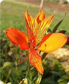 "Alstroemeria huemulina PERUVIAN LILY, PRINCESS LILY  Zone 8, Blooms June - Aug. 24"" tall"