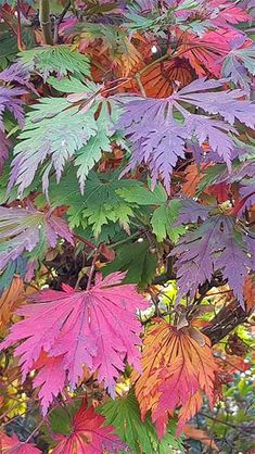 Japanese Acer Palmatum Japonicum Aconitifolium Tree, For Sale UK- To Buy London UK Japanese Tree, Japanese Flowers, Japanese Maple, Acer Palmatum, Fall Flowers, Red Flowers, Japanese Garden Plants, Japanese Gardens, Acer Trees