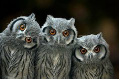 If your kids love then this could be it. Walk across a field with an owl or bird of prey on your arm. Beautiful Owl, Animals Beautiful, Cute Animals, Owl Bird, Pet Birds, Owl Pictures, Wise Owl, Tier Fotos, Mundo Animal