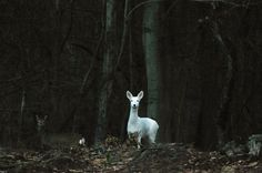 FOR WILLIAM -  I love this picture - the contrast of the white deer with the dark woods is a very cool effect. I haven't started thinking about a set yet...