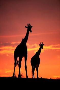 Misc Stunning silhouettes show animals of Africa at sunrise and sunset - BBC News Yüksel Quality Professional Services These photo albums,. Africa Silhouette, Animal Silhouette, Silhouette Art, African Animals, African Art, Jungle Animals, Cute Animals, African Sunset, Silhouette Photography