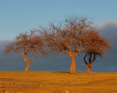 Tilton Hill Apple Trees