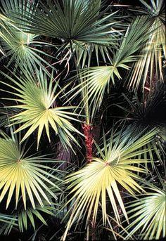 Acoelorrhaphe wrightii (Paurotis Palm, Silver Saw Palmetto)