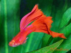 Types of Guppies - The guppy (Poecilia reticulata), also known as millionfish and rainbow fish, is one of the world's most widely distributed tropical fish, and one of the most popular freshwater aquarium fish species. Guppy, Tropical Aquarium, Tropical Fish, Big Aquarium, Colorful Fish, Betta Fish Types, Fish For Sale, Beta Fish, Freshwater Aquarium Fish