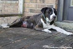 This Sneaky Cancer Often Creates a Crisis Before It's Diagnosed - dog with hemangiosarcoma